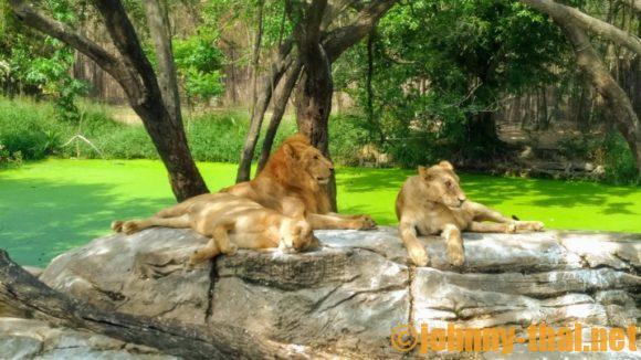 サファリワールドバンコクのライオン